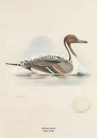 PINTAIL DUCK - Anas Acuta